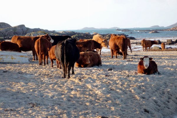 Cows on the beach in winter